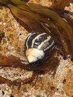Image of <i>Austrocochlea porcata</i> (A. Adams 1853)