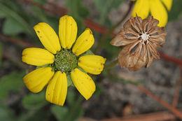 Image of <i>Berlandiera subacaulis</i>
