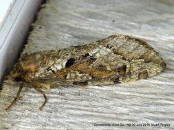 Image of <i>Korscheltellus gracilis</i>