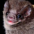 Image of Hairy-legged Vampire Bat