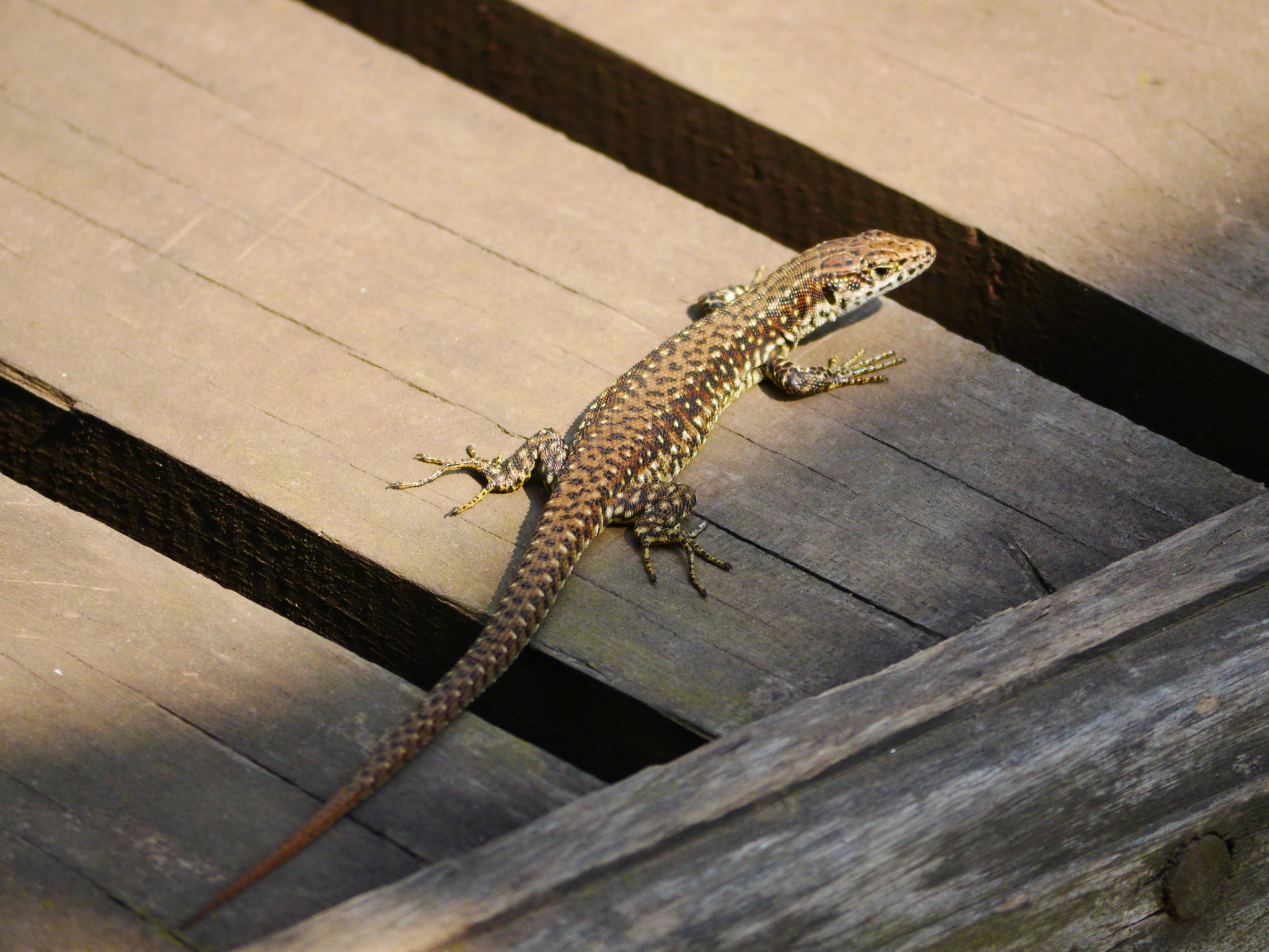Image of Jackson's Forest Lizard