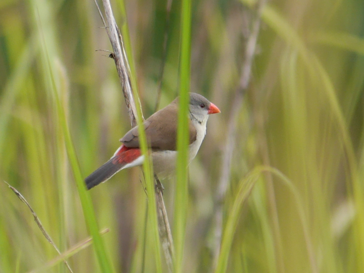 Image of Fawn-breasted Waxbill