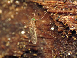 Image of Northern house mosquito
