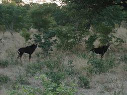 Image of Sable Antelope