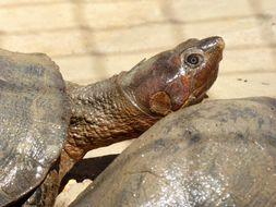 Image of Madagascar Big-headed Turtle