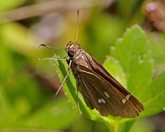 Image of Twin-spot Skipper