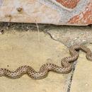 Image of <i>Malpolon insignitus fuscus</i> (Fleischmann 1831)