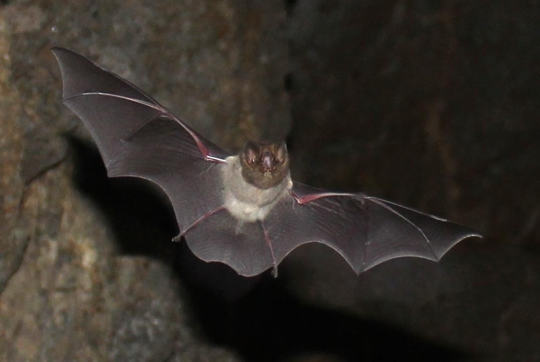 Image of Smokey Bat