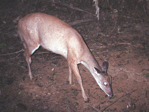 Image of South American Red Brocket