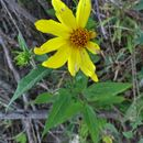 Image of <i>Helianthus strumosus</i>