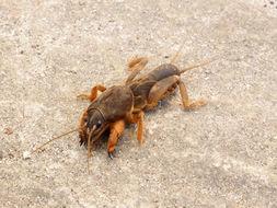 Image of European Mole Cricket