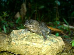 Image of <i>Cycloramphus acangatan</i> Verdade & Rodrigues 2003