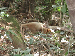 Image of Southern Tamandua