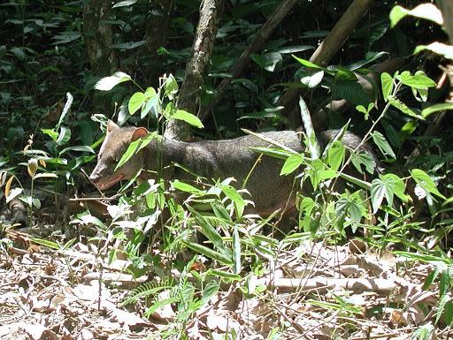 Image of Short-eared Dog