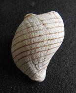 Image of <i>Buccinulum linea</i> (Martyn 1784)