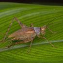 Image of <i>Tremellia timah</i> Gorochov & M. K. Tan 2012