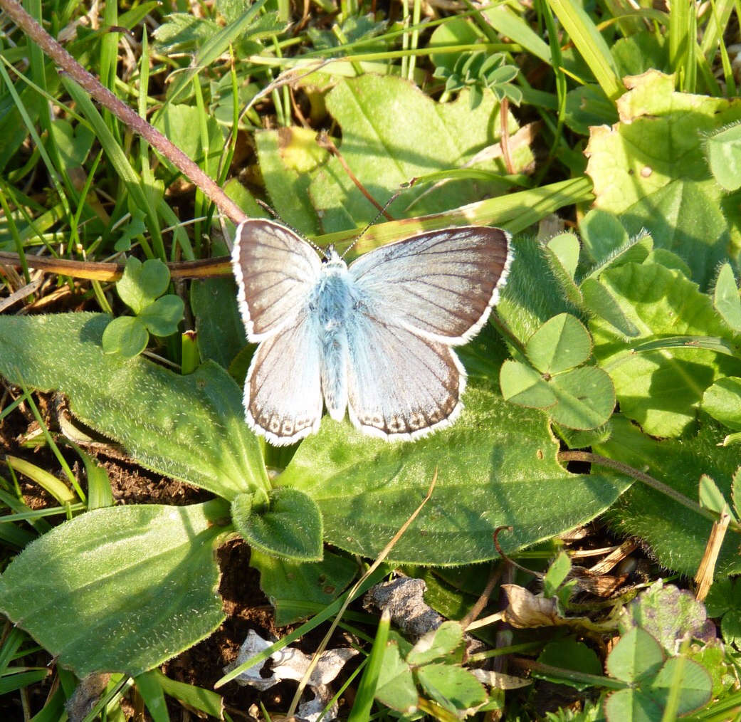 Image of Chalkhill Blue