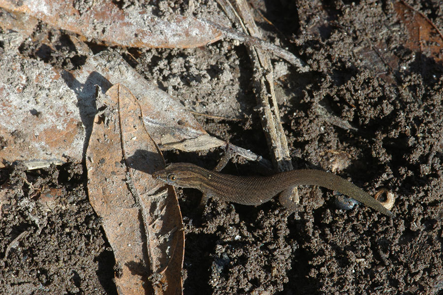 Image of Florida Reef Gecko