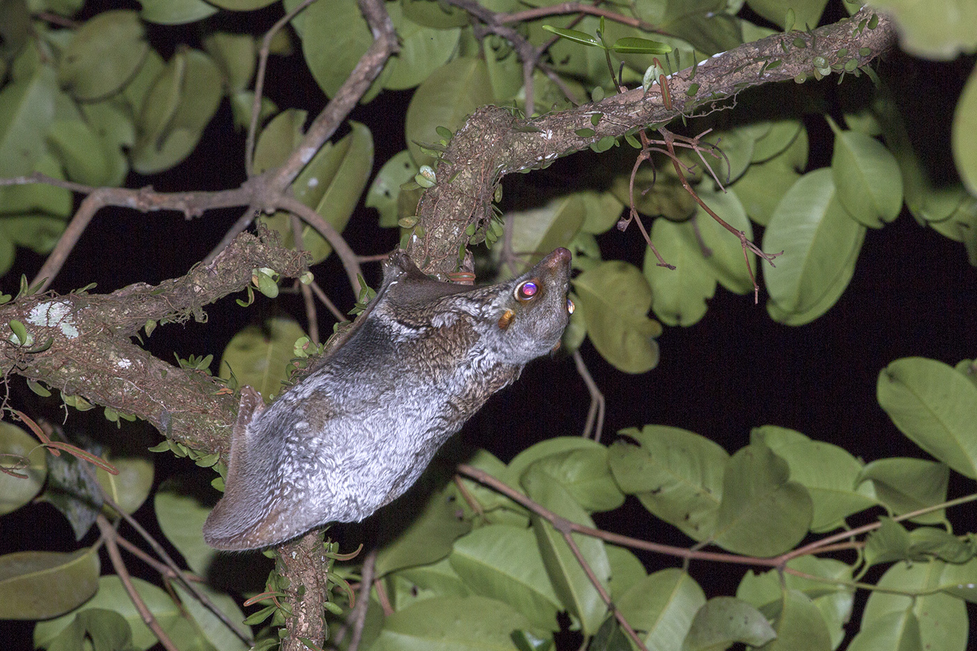 Image of Malayan Flying Lemur