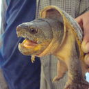 Image of Mexican Giant Musk Turtle