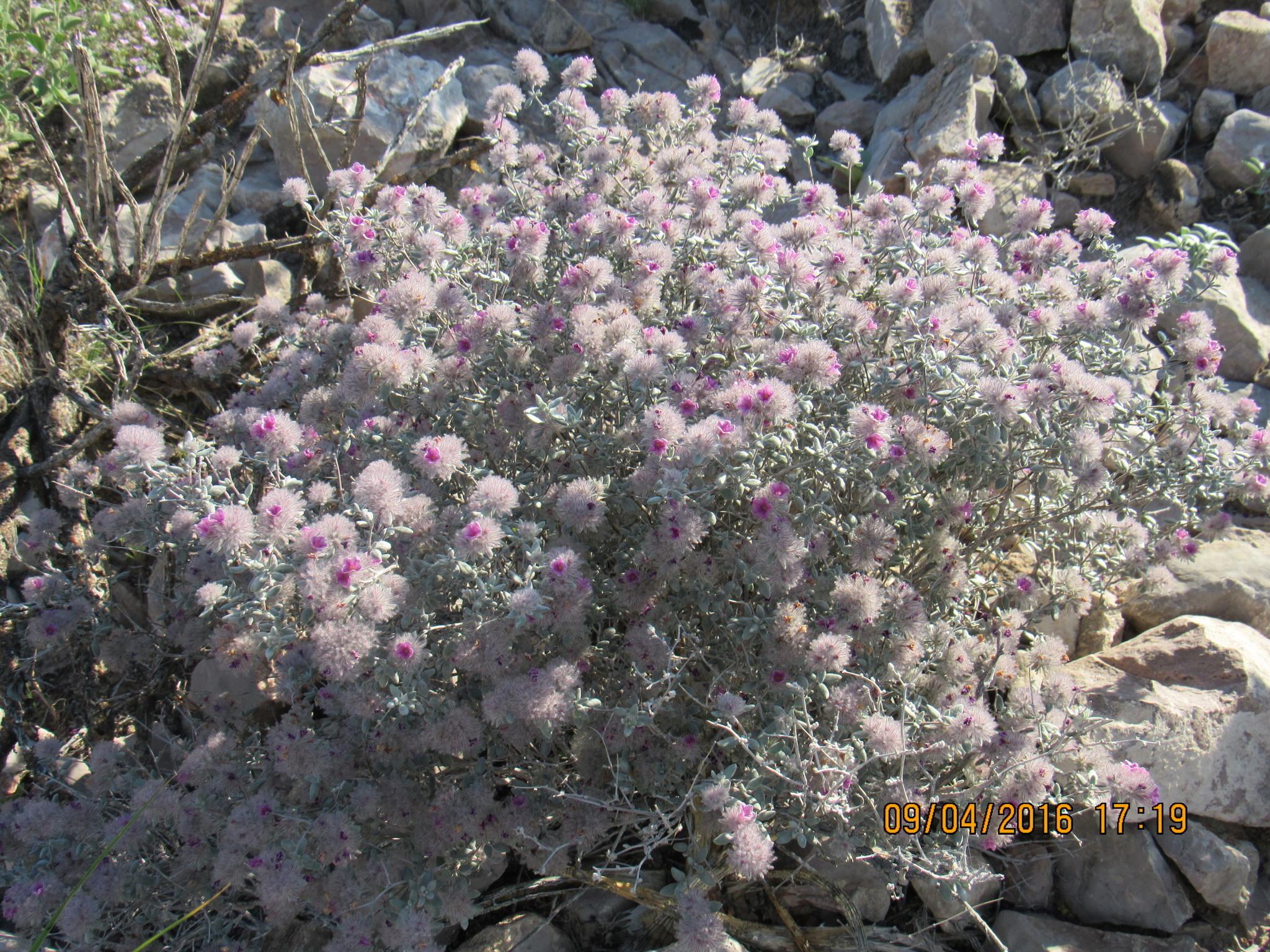 Image of <i>Tiquilia greggii</i>
