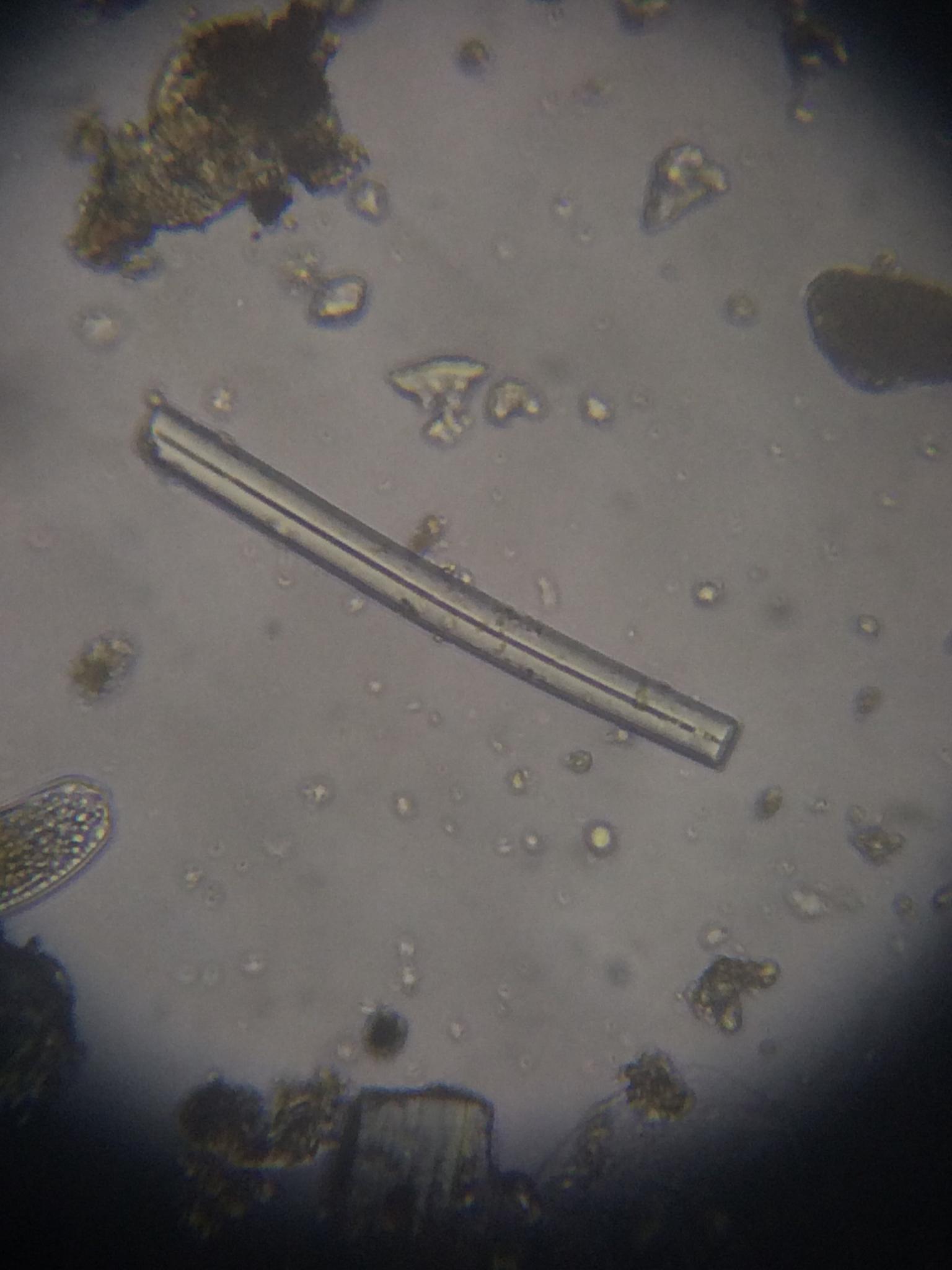 Image of <i>Heteromeyenia tubisperma</i> (Potts 1881)