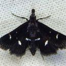 Image of <i>Diasemiodes nigralis</i>
