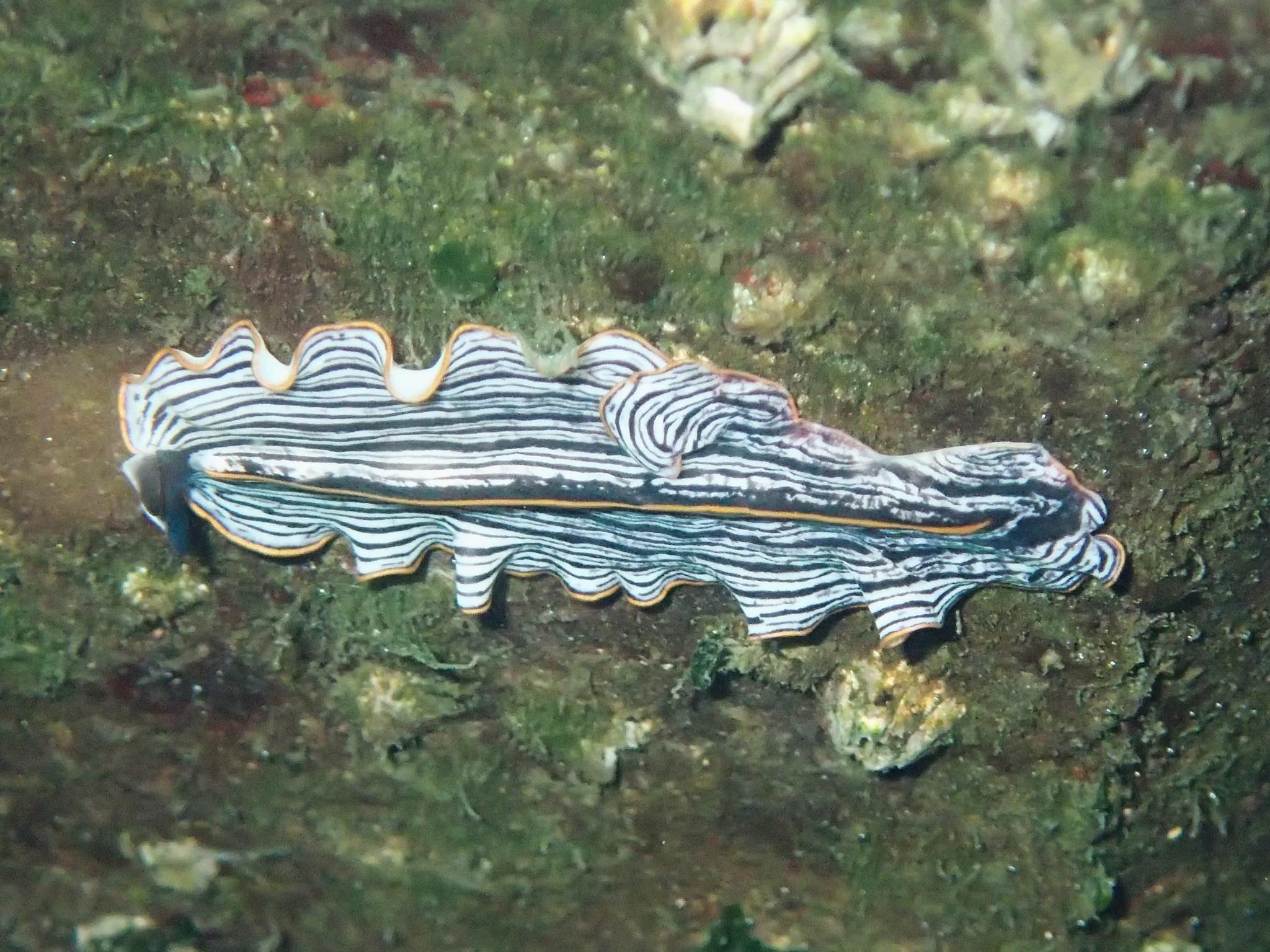 Image of <i>Prostheceraeus bellostriatus</i>