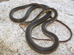 Image of Baja California Striped Whip Snake