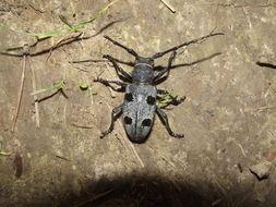 Image of Long-horned beetle