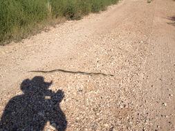 Image of Desert kingsnake