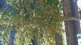 Image of horse-chestnut leaf miner