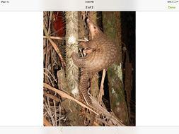 Image of Sunda Pangolin