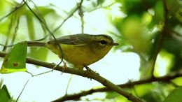 Image of Golden-crowned Warbler