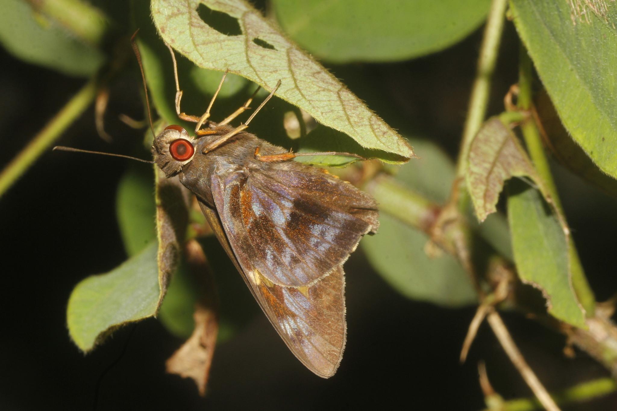 Image of <i>Perichares adela</i>