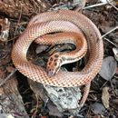 Image of Little Spotted Snake