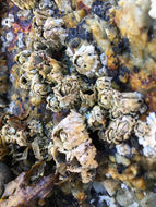 Image of Acorn barnacle