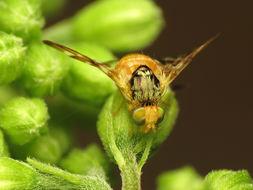 Image of <i>Procecidocharoides penelope</i> (Osten Sacken 1877)