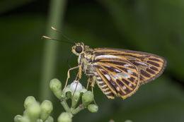 Image of <i>Pyroneura latoia</i> Hewitson 1868