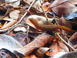Image of Mona Dwarf Gecko