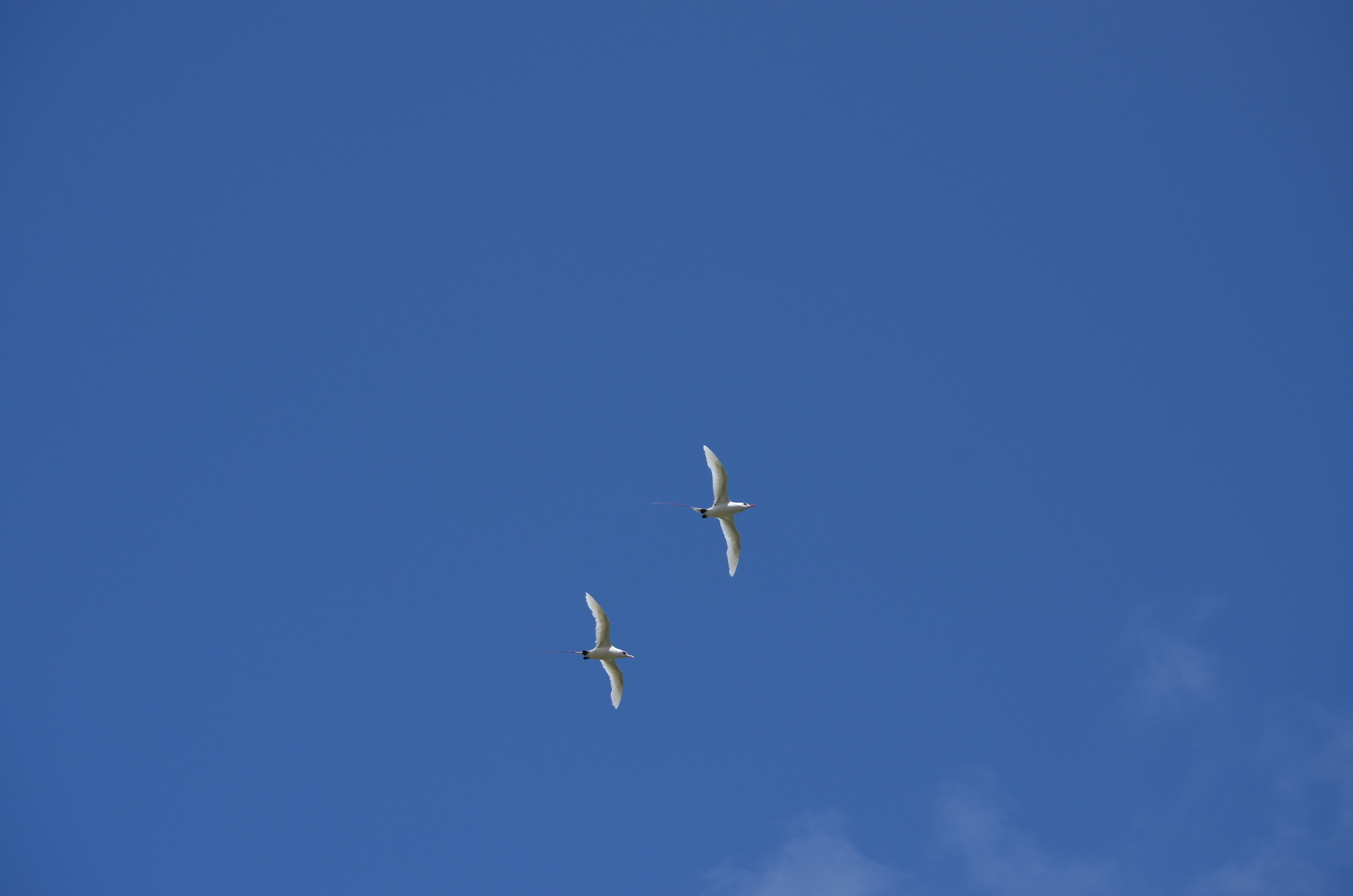 Image of Red-tailed Tropicbird
