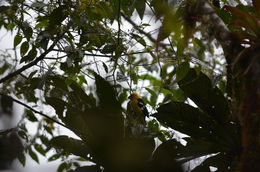 Image of Golden-bellied Grosbeak