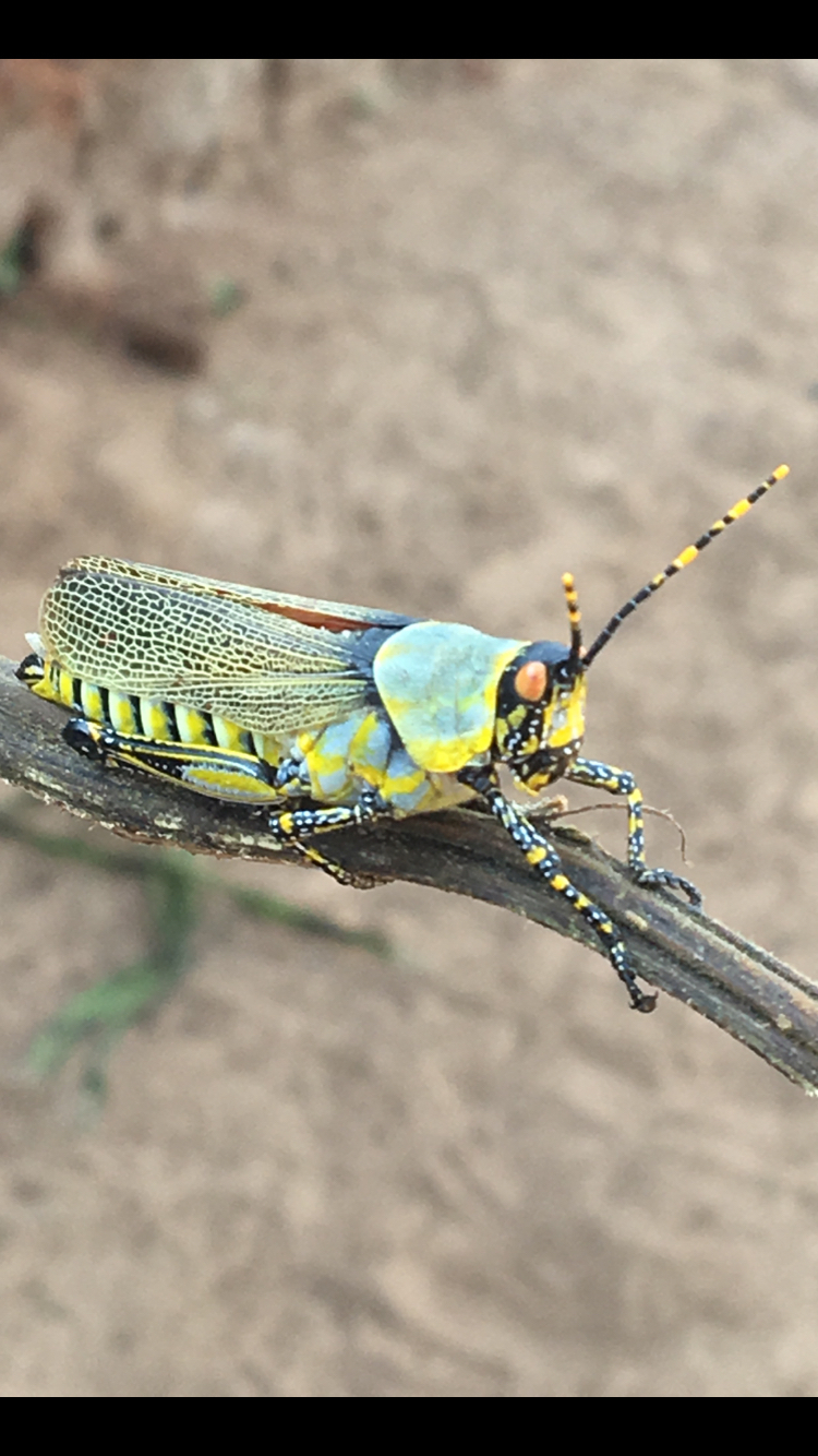 Image of harlequin locust
