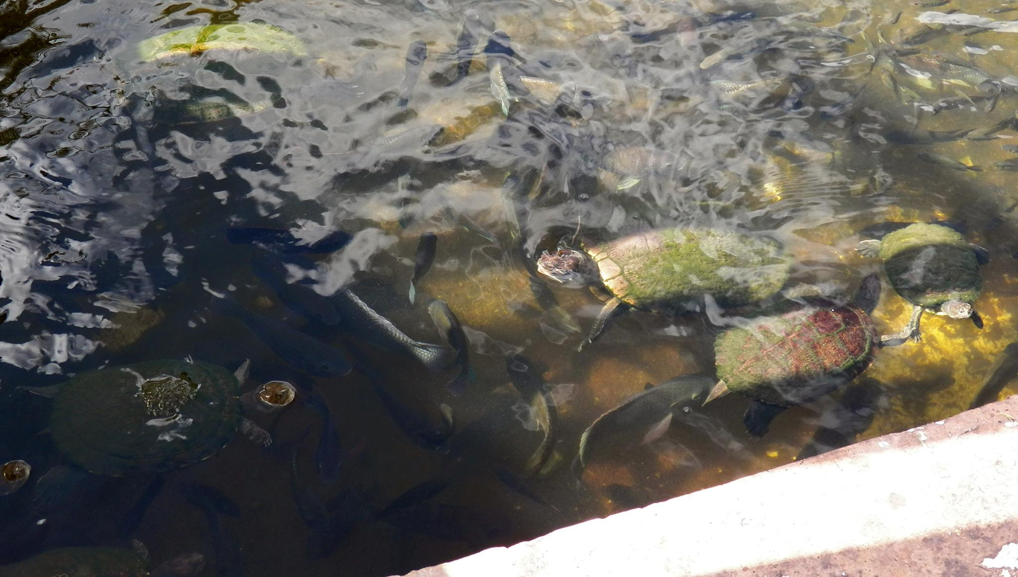 Image of Cat Island Freshwater Turtle