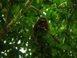 Image of Red Titi Monkey
