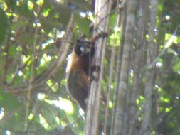 Image of Golden-mantle Saddleback Tamarin
