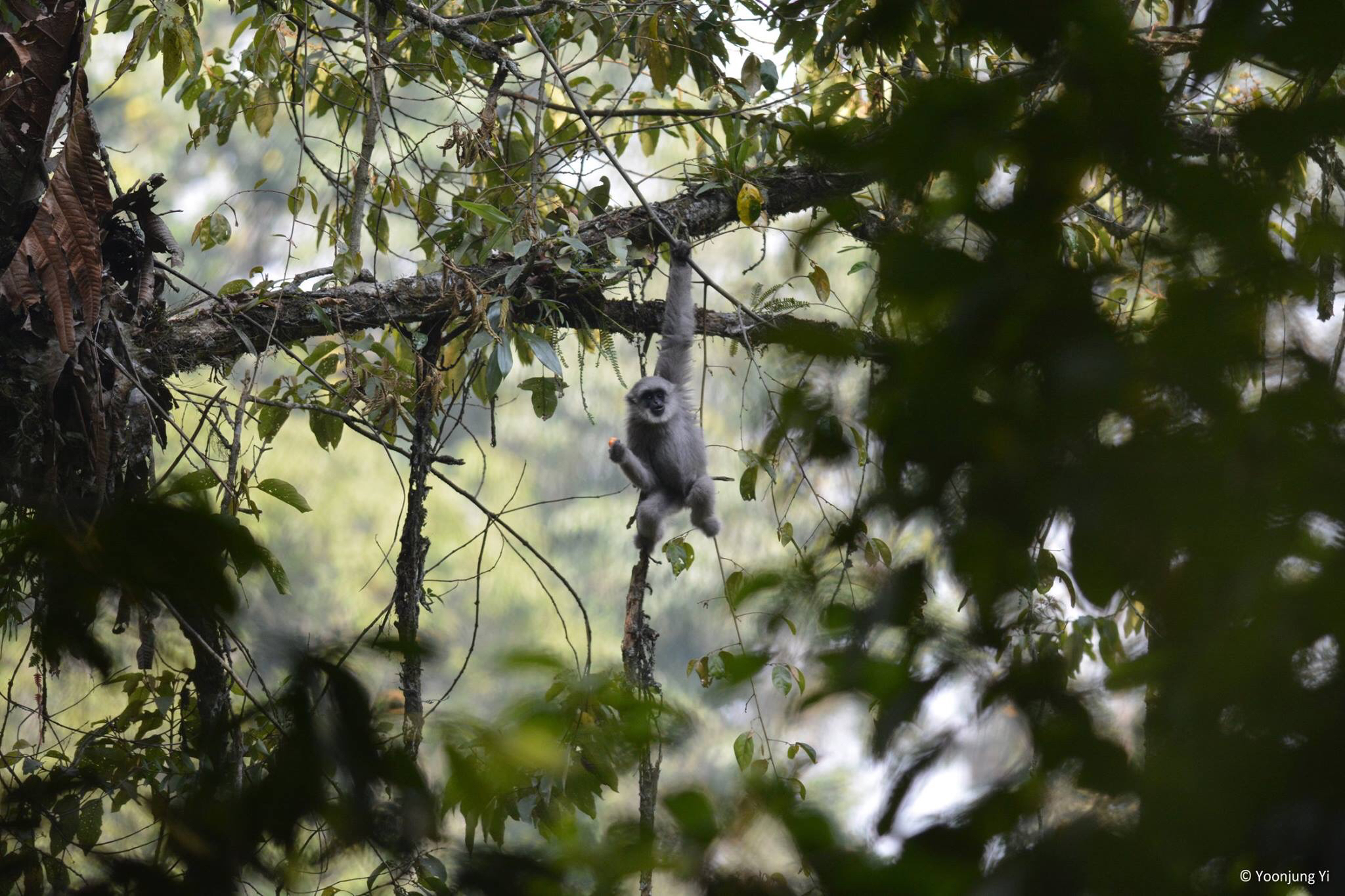 Image of silvery gibbon