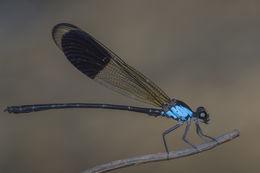 Image of <i>Euphaea impar</i> Selys 1859
