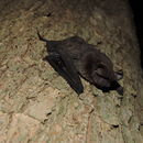 Image of broad-eared bat