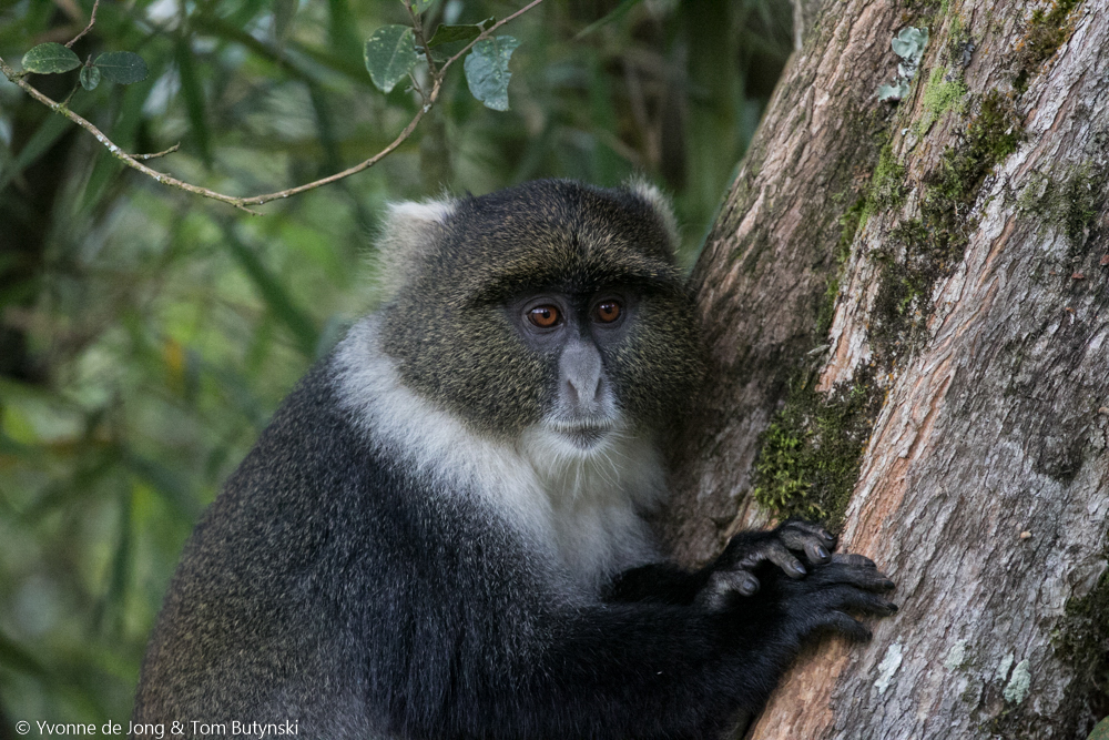 Image of Kolb's Monkey